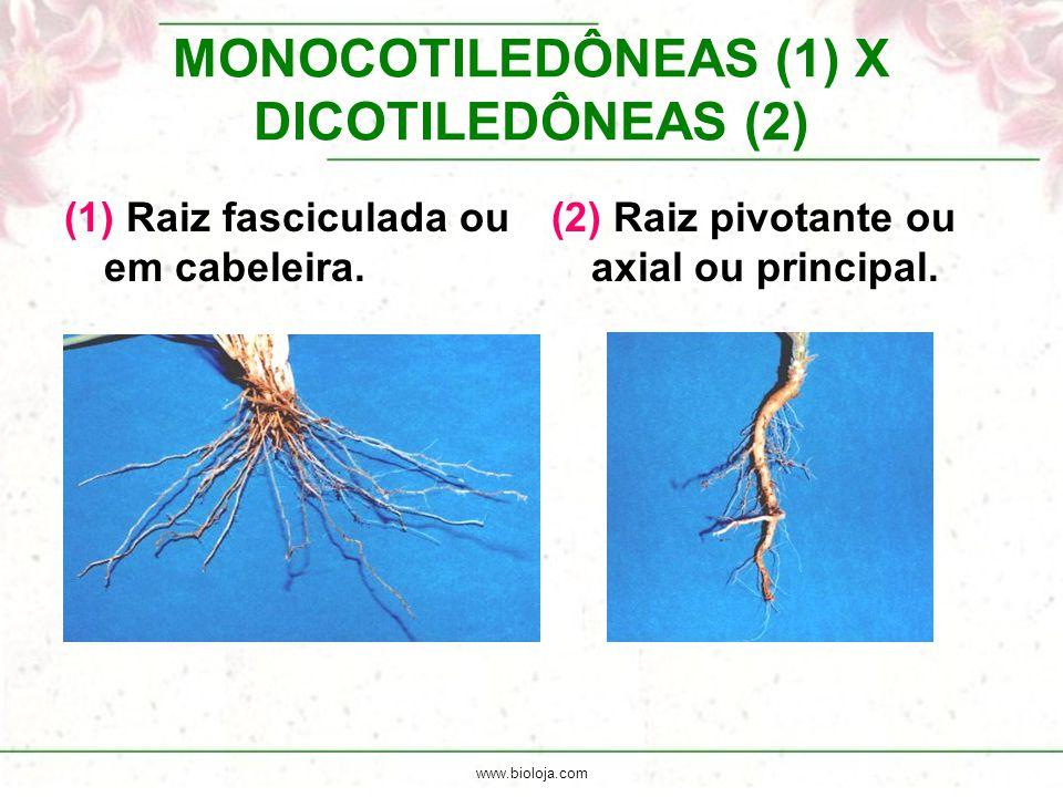www.bioloja.com MONOCOTILEDÔNEAS (1) X DICOTILEDÔNEAS (2) (1) Raiz fasciculada ou em cabeleira. (2) Raiz pivotante ou axial ou principal.