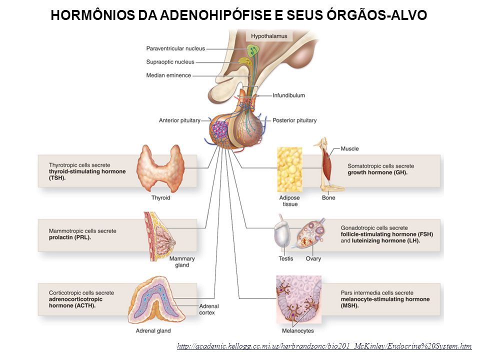 http://academic.kellogg.cc.mi.us/herbrandsonc/bio201_McKinley/Endocrine%20System.htm HORMÔNIOS DA ADENOHIPÓFISE E SEUS ÓRGÃOS-ALVO