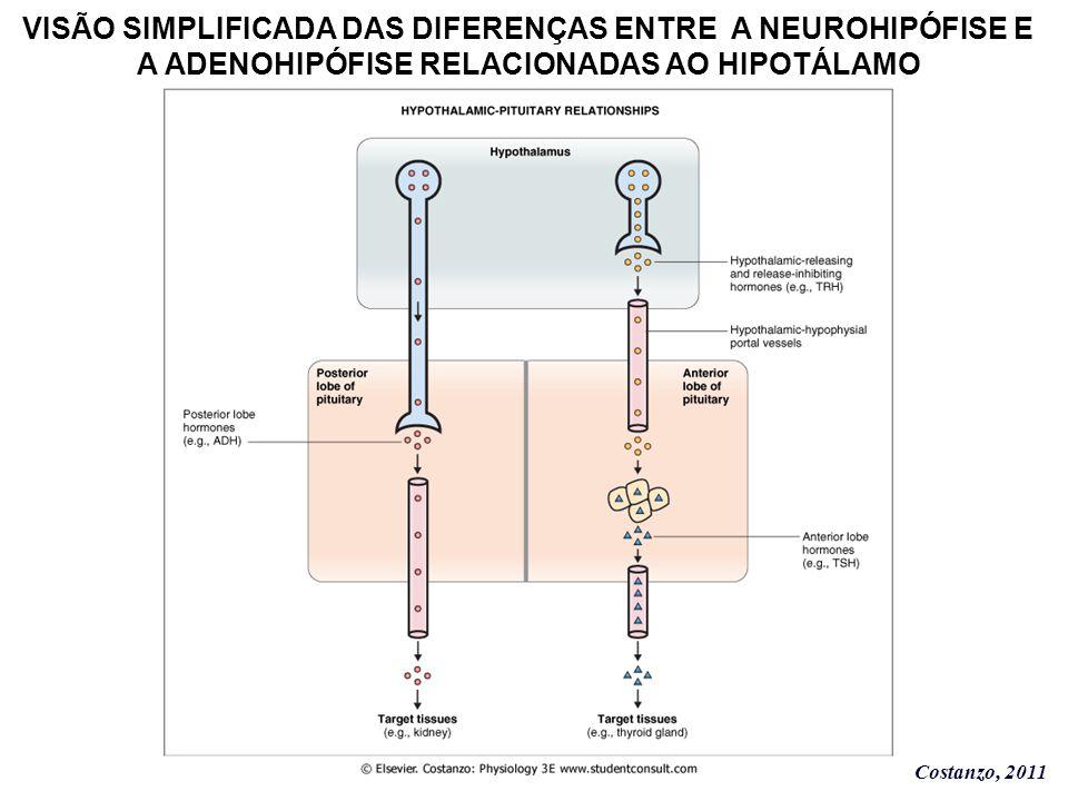 Costanzo, 2011 VISÃO SIMPLIFICADA DAS DIFERENÇAS ENTRE A NEUROHIPÓFISE E A ADENOHIPÓFISE RELACIONADAS AO HIPOTÁLAMO