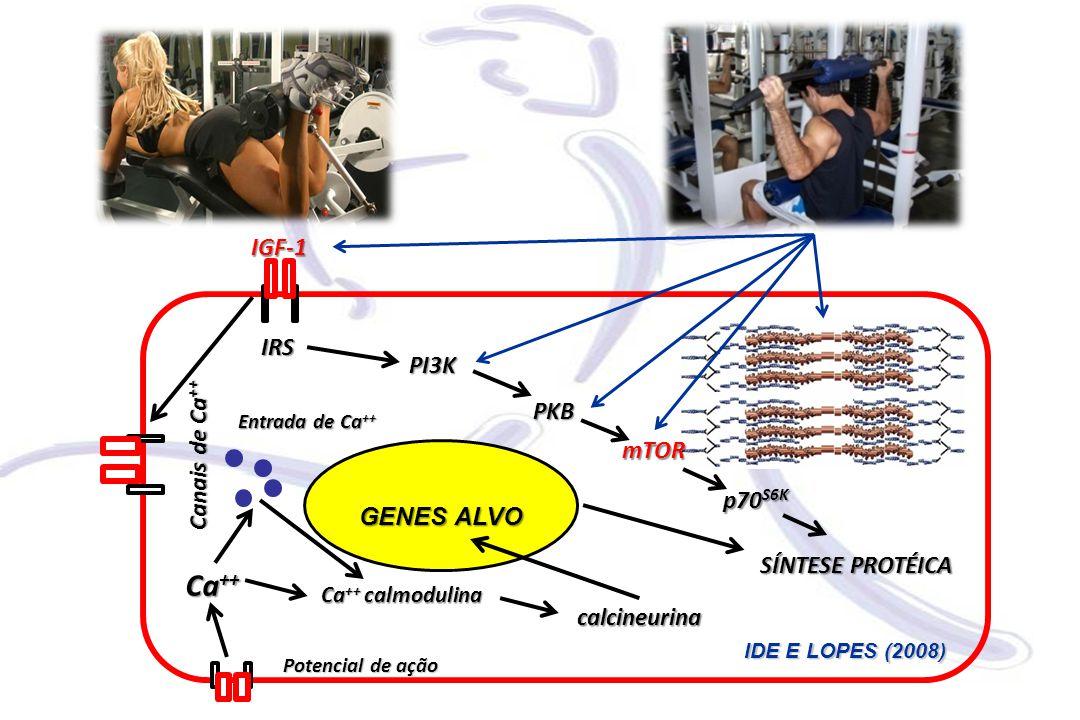 IGF-1 GENES ALVO mTOR PI3K PKB IRS p70 S6K SÍNTESE PROTÉICA Canais de Ca ++ calcineurina Ca ++ calmodulina Entrada de Ca ++ Potencial de ação Ca ++ IDE E LOPES (2008)