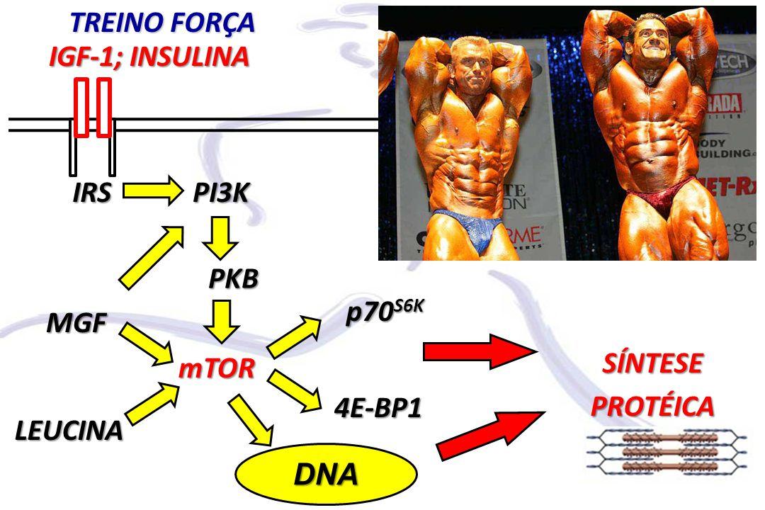 mTOR PI3K PKB IGF-1; INSULINA SÍNTESEPROTÉICA IRS p70 S6K 4E-BP1 TREINO FORÇA DNA MGF LEUCINA