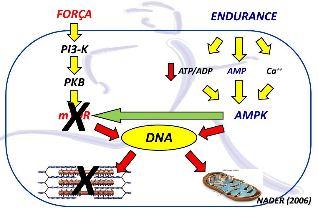 mTORAMPK FORÇA ENDURANCE PI3-K PKB DNA Ca ++ ATP/ADP X NADER (2006) X AMP