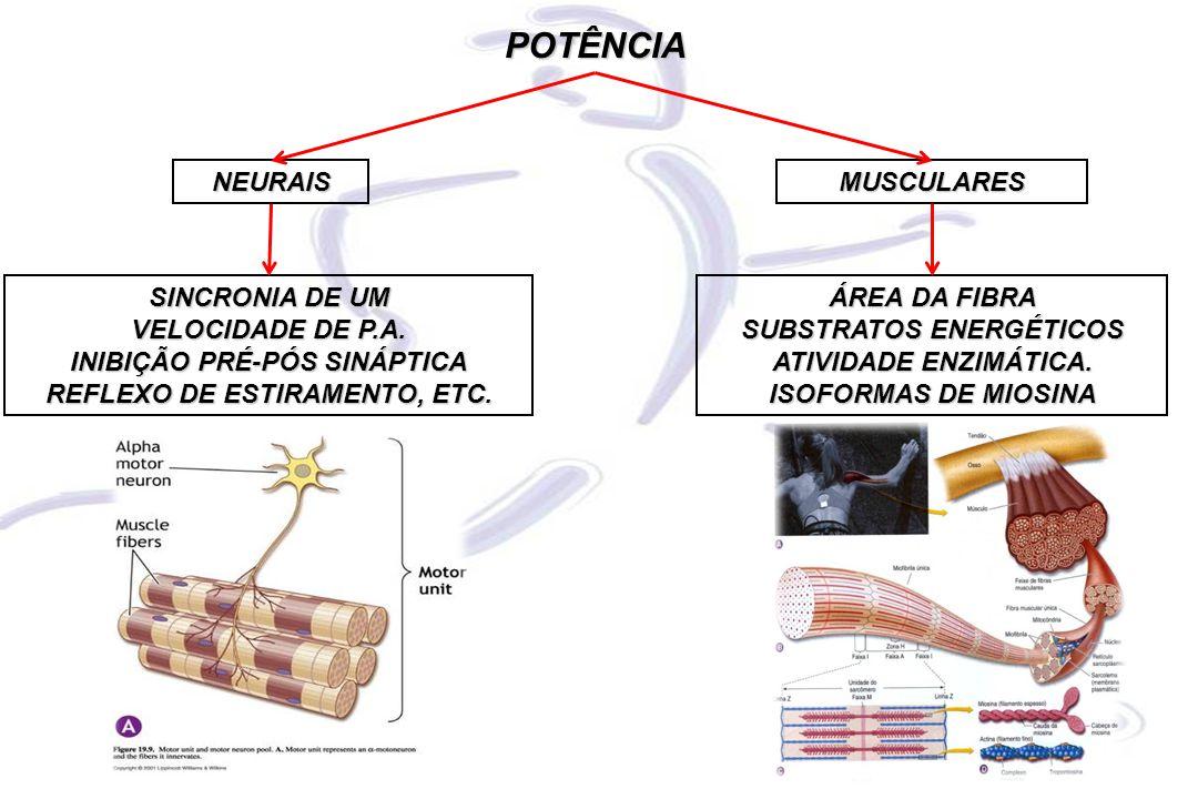 NEURAISMUSCULARES POTÊNCIA SINCRONIA DE UM VELOCIDADE DE P.A. INIBIÇÃO PRÉ-PÓS SINÁPTICA REFLEXO DE ESTIRAMENTO, ETC. ÁREA DA FIBRA SUBSTRATOS ENERGÉT