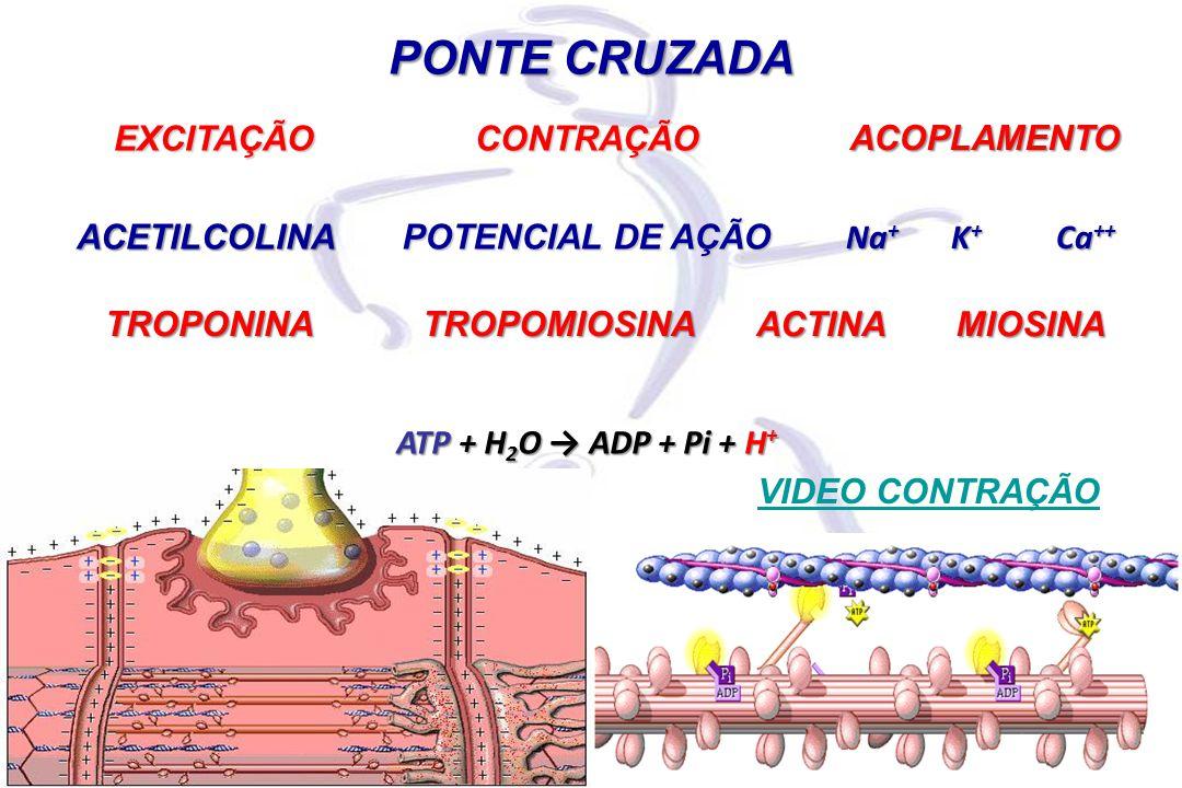 EXCITAÇÃO PONTE CRUZADA CONTRAÇÃO ATP + H 2 O → ADP + Pi + H + ACETILCOLINA POTENCIAL DE AÇÃO Na + K + Ca ++ ACOPLAMENTO ACTINAMIOSINA TROPOMIOSINATROPONINA VIDEO CONTRAÇÃO