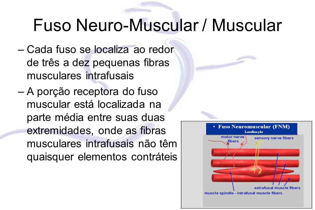 Fuso Neuro-Muscular / Muscular –Cada fuso se localiza ao redor de três a dez pequenas fibras musculares intrafusais –A porção receptora do fuso muscular está localizada na parte média entre suas duas extremidades, onde as fibras musculares intrafusais não têm quaisquer elementos contráteis