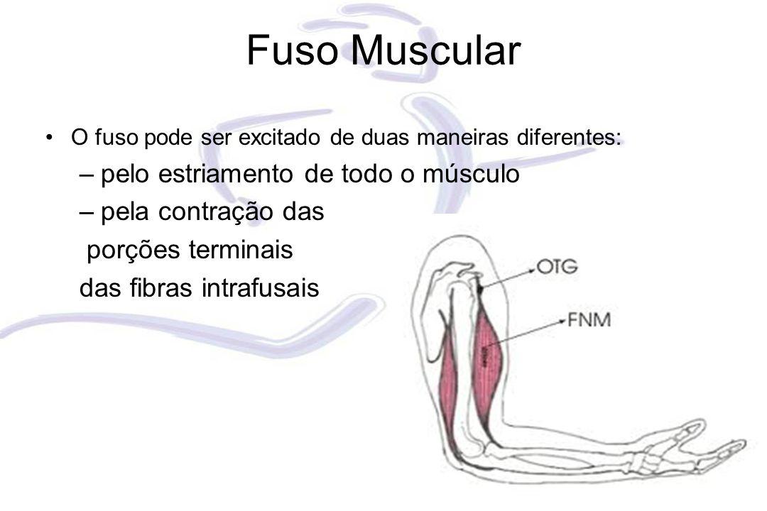 Fuso Muscular O fuso pode ser excitado de duas maneiras diferentes: –pelo estriamento de todo o músculo –pela contração das porções terminais das fibr