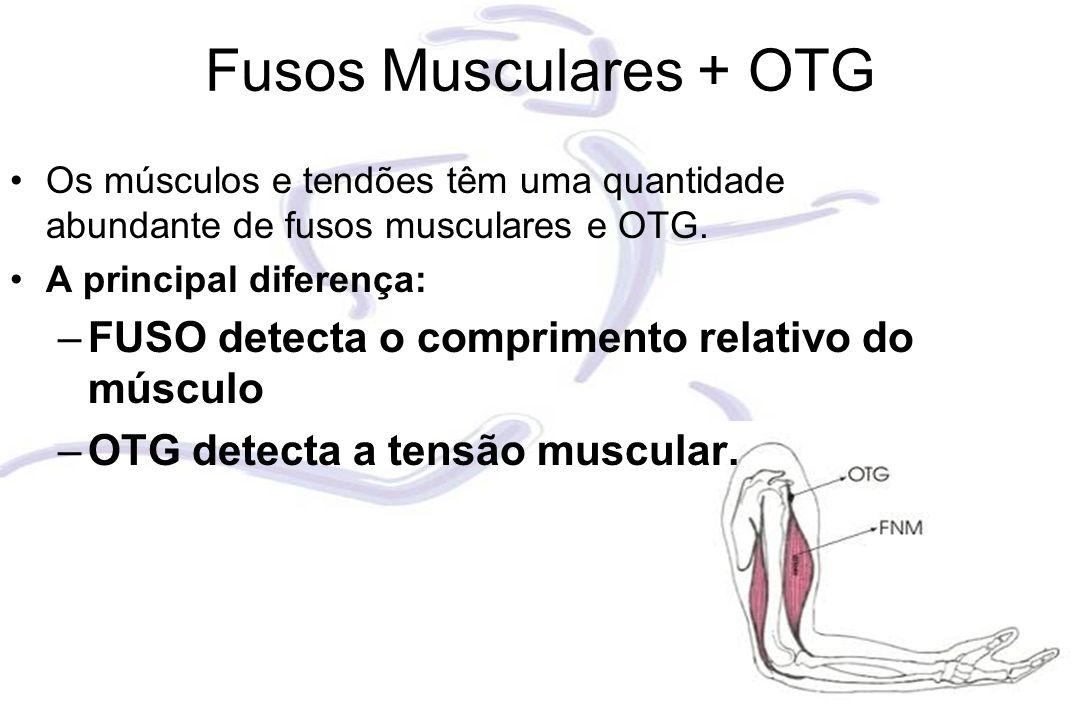 Fusos Musculares + OTG Os músculos e tendões têm uma quantidade abundante de fusos musculares e OTG. A principal diferença: –FUSO detecta o compriment