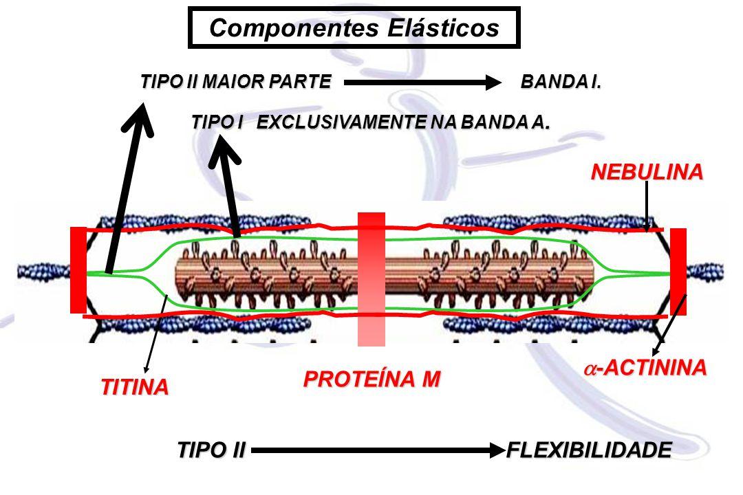 TIPO II MAIOR PARTE BANDA I. TIPO IEXCLUSIVAMENTE NA BANDA A. TITINA PROTEÍNA M  -ACTININA TIPO IIFLEXIBILIDADE NEBULINA Componentes Elásticos