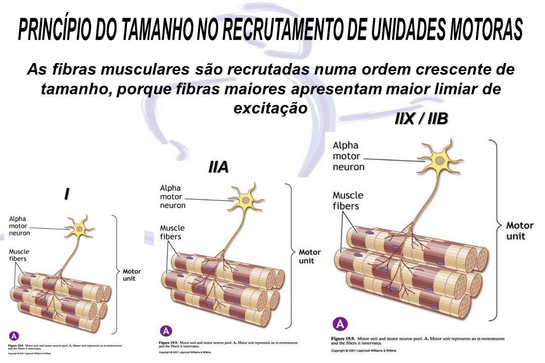 I IIA IIX / IIB As fibras musculares são recrutadas numa ordem crescente de tamanho, porque fibras maiores apresentam maior limiar de excitação