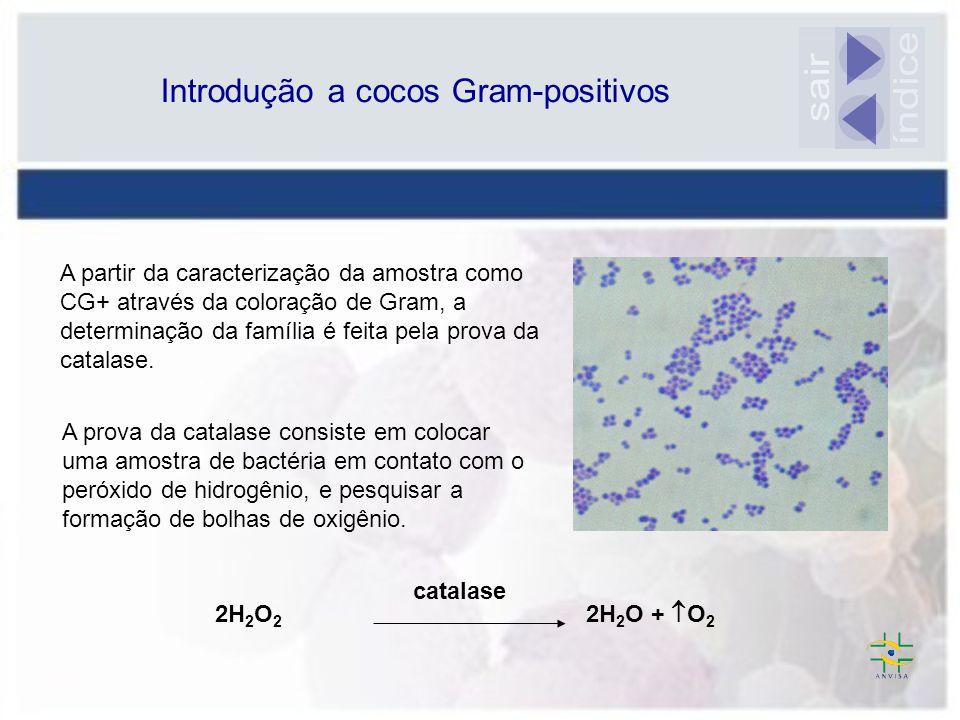 Micrococcaceae + As bactérias desta família são catalase POSITIVAS Streptococcaceae - As bactérias desta família são catalase NEGATIVAS Introdução a cocos Gram-positivos