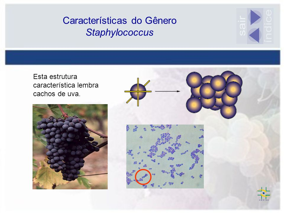 Esta estrutura característica lembra cachos de uva. Características do Gênero Staphylococcus