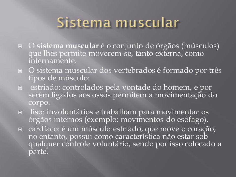  O sistema muscular é o conjunto de órgãos (músculos) que lhes permite moverem-se, tanto externa, como internamente.