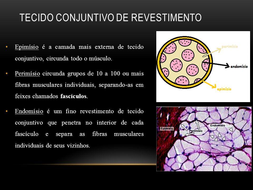 TECIDO CONJUNTIVO DE REVESTIMENTO Epimísio é a camada mais externa de tecido conjuntivo, circunda todo o músculo. Perimísio circunda grupos de 10 a 10