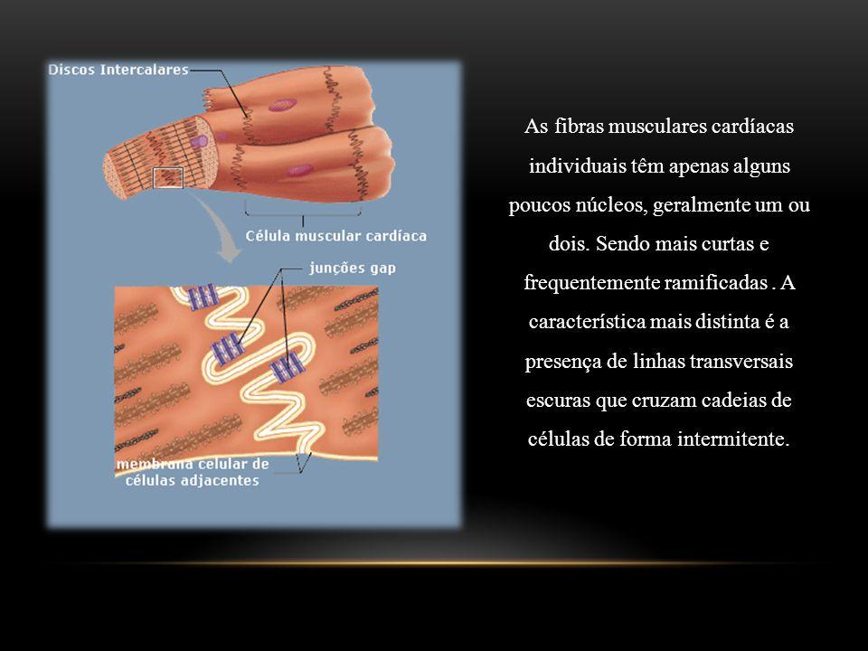 As fibras musculares cardíacas individuais têm apenas alguns poucos núcleos, geralmente um ou dois. Sendo mais curtas e frequentemente ramificadas. A