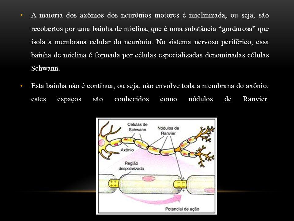 """A maioria dos axônios dos neurônios motores é mielinizada, ou seja, são recobertos por uma bainha de mielina, que é uma substância """"gordurosa"""" que iso"""