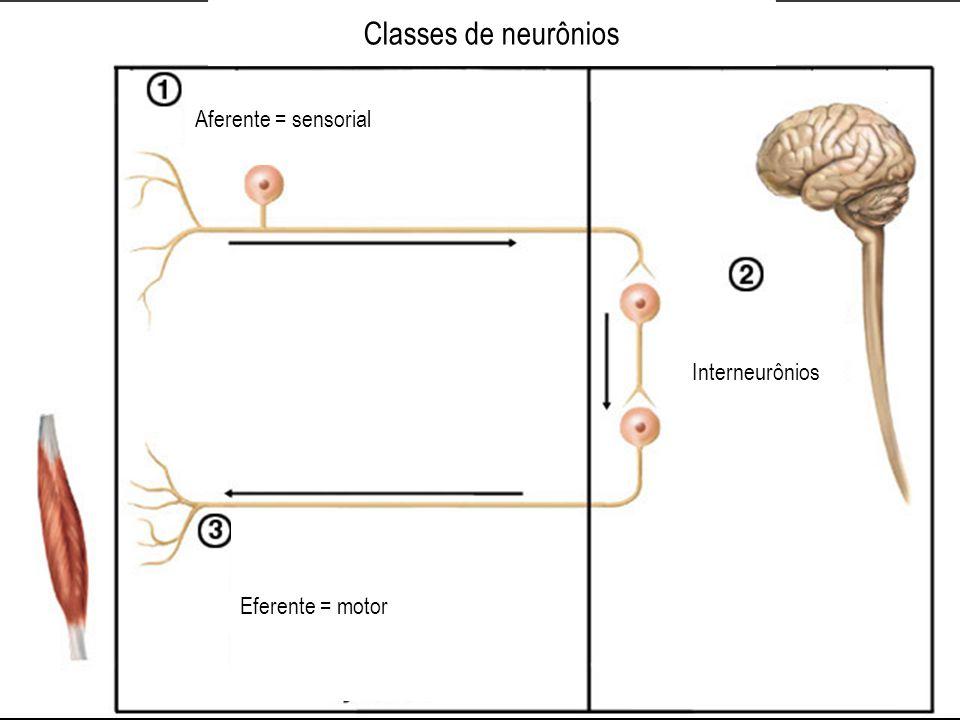Classes de neurônios Aferente = sensorial Eferente = motor Interneurônios