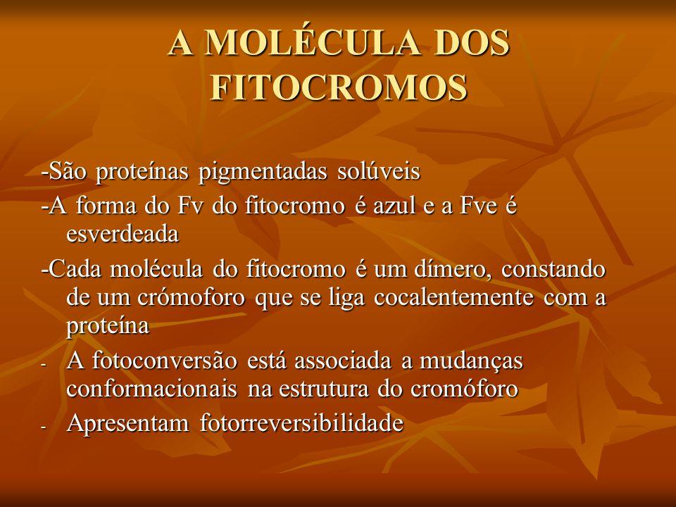 A MOLÉCULA DOS FITOCROMOS -São proteínas pigmentadas solúveis -A forma do Fv do fitocromo é azul e a Fve é esverdeada -Cada molécula do fitocromo é um