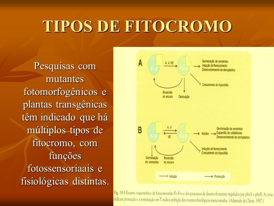 TIPOS DE FITOCROMO Pesquisas com mutantes fotomorfogênicos e plantas transgênicas têm indicado que há múltiplos tipos de fitocromo, com funções fotoss