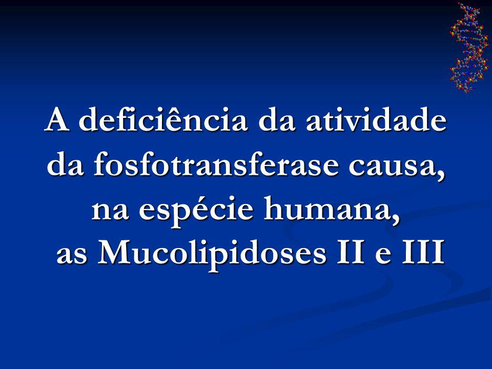 A deficiência da atividade da fosfotransferase causa, na espécie humana, as Mucolipidoses II e III