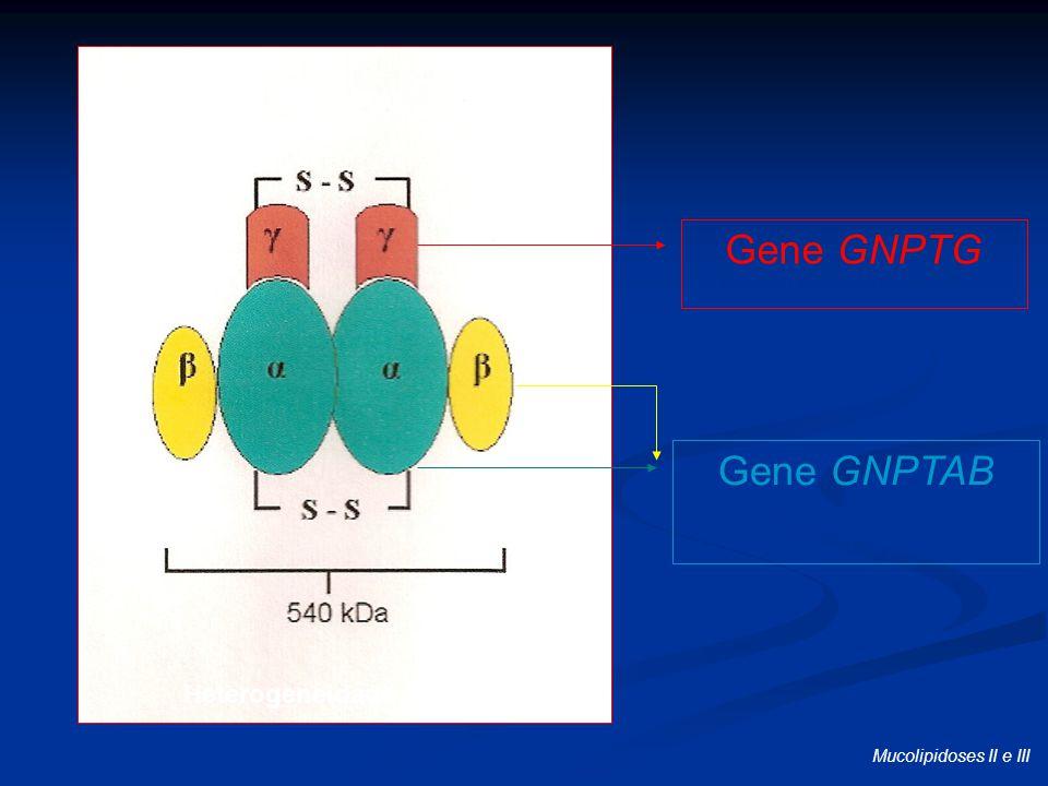 Gene GNPTG RAAS-ROTSCHILD et al., 2000 Gene GNPTAB KUDO et al., 2006 TIEDE et al., 2006 Heterogeneidade de lócus Mucolipidoses II e III