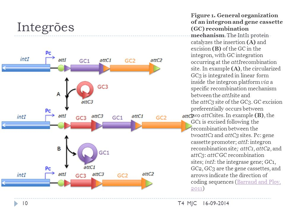 Integrões 16-09-2014T4 MJC10 Figure 1. General organization of an integron and gene cassette (GC) recombination mechanism. The IntI1 protein catalyzes
