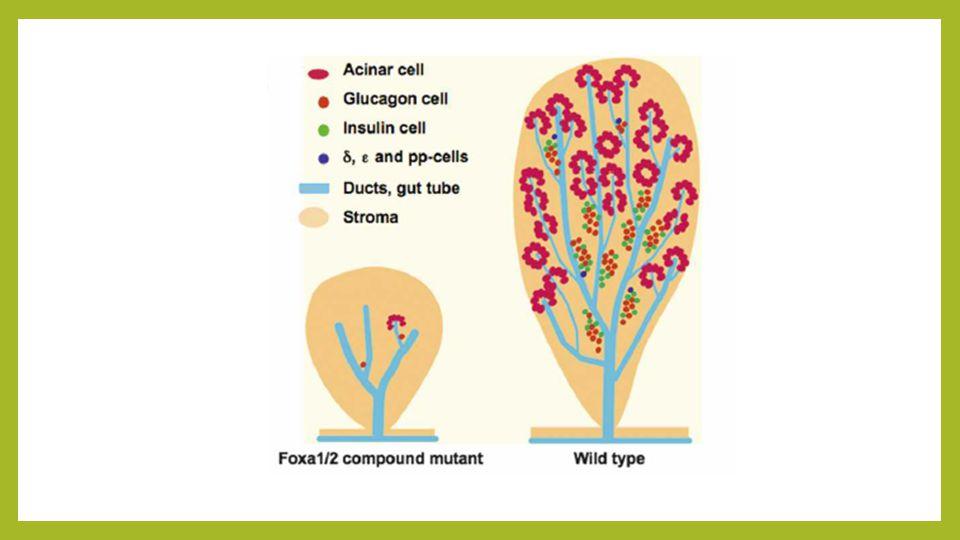 Pax 4 O PAX4 expressa-se em todas as células progenitoras endócrinas A sua expressão perde-se com a perda do NGN3 Na sua ausência não há desenvolvimento das células β e δ e há uma diminuição da expressão do PDX1
