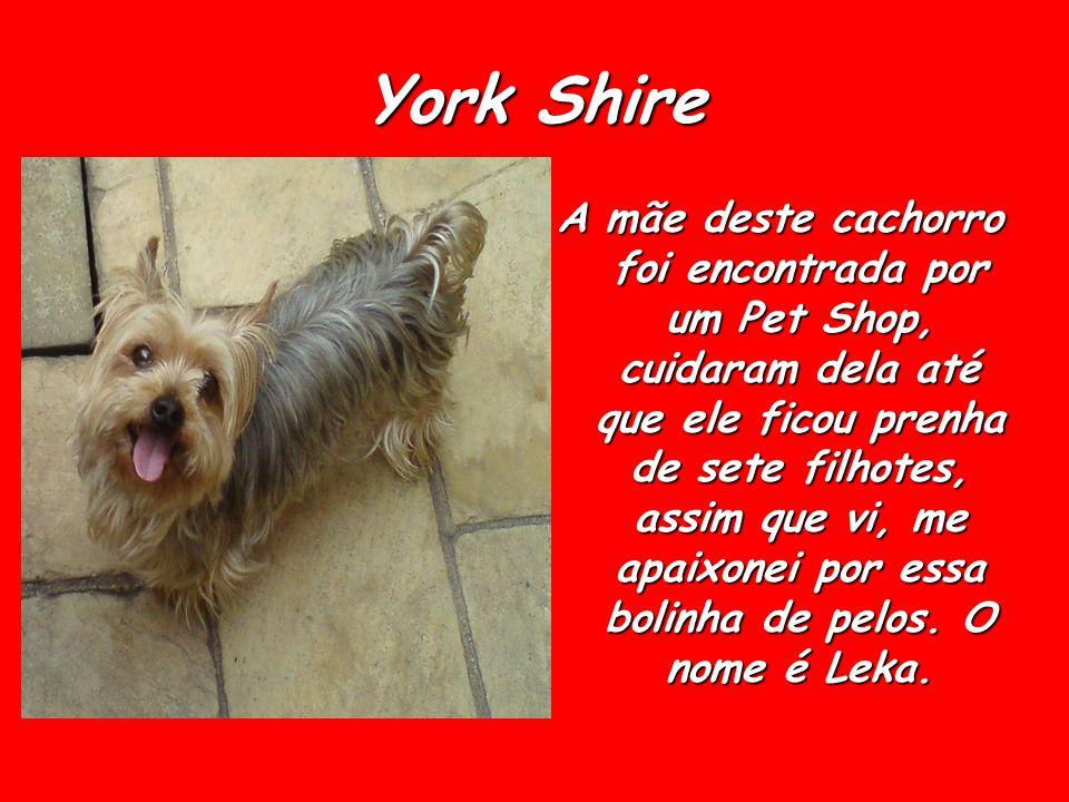 York Shire A mãe deste cachorro foi encontrada por um Pet Shop, cuidaram dela até que ele ficou prenha de sete filhotes, assim que vi, me apaixonei po