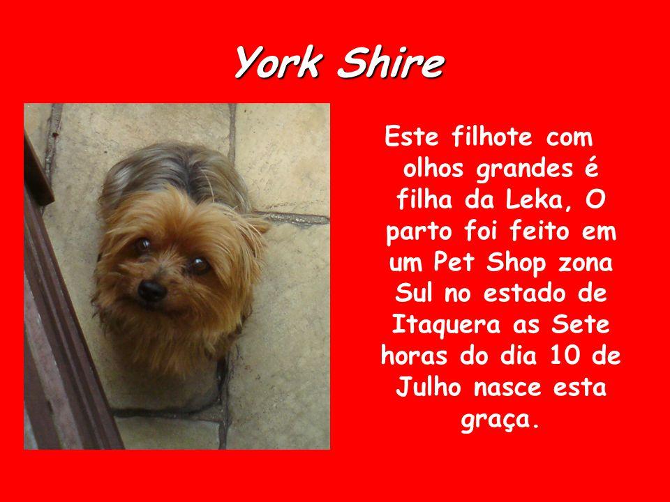 York Shire Este filhote com olhos grandes é filha da Leka, O parto foi feito em um Pet Shop zona Sul no estado de Itaquera as Sete horas do dia 10 de