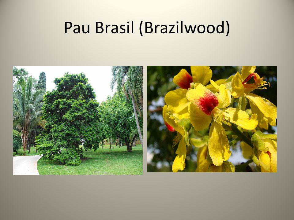 Pau Brasil (Brazilwood)
