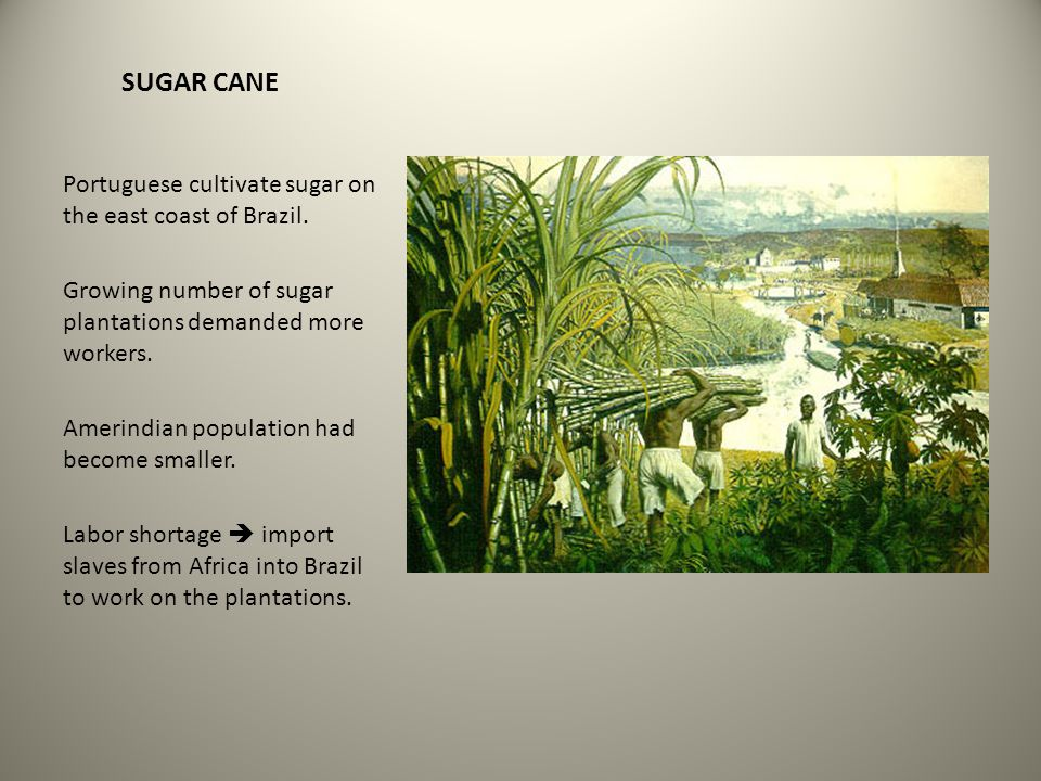 SUGAR CANE Portuguese cultivate sugar on the east coast of Brazil. Growing number of sugar plantations demanded more workers. Amerindian population ha