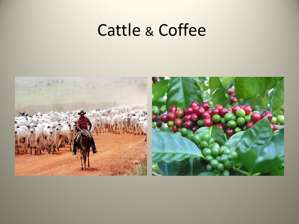 Cattle & Coffee