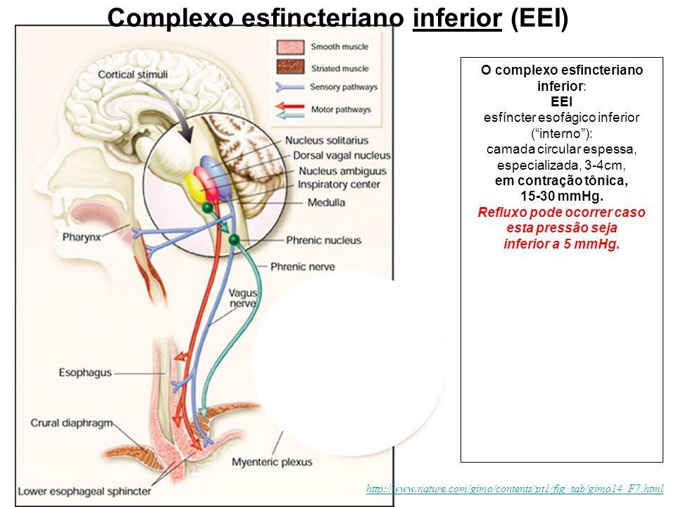"""http://www.nature.com/gimo/contents/pt1/fig_tab/gimo14_F7.html O complexo esfincteriano inferior: EEI esfíncter esofágico inferior (""""interno""""): camada"""