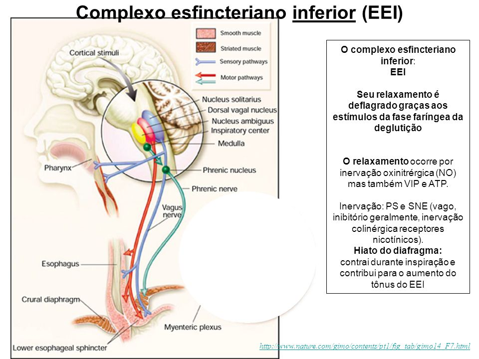 http://www.nature.com/gimo/contents/pt1/fig_tab/gimo14_F7.html Complexo esfincteriano inferior (EEI) O complexo esfincteriano inferior: EEI Seu relaxa