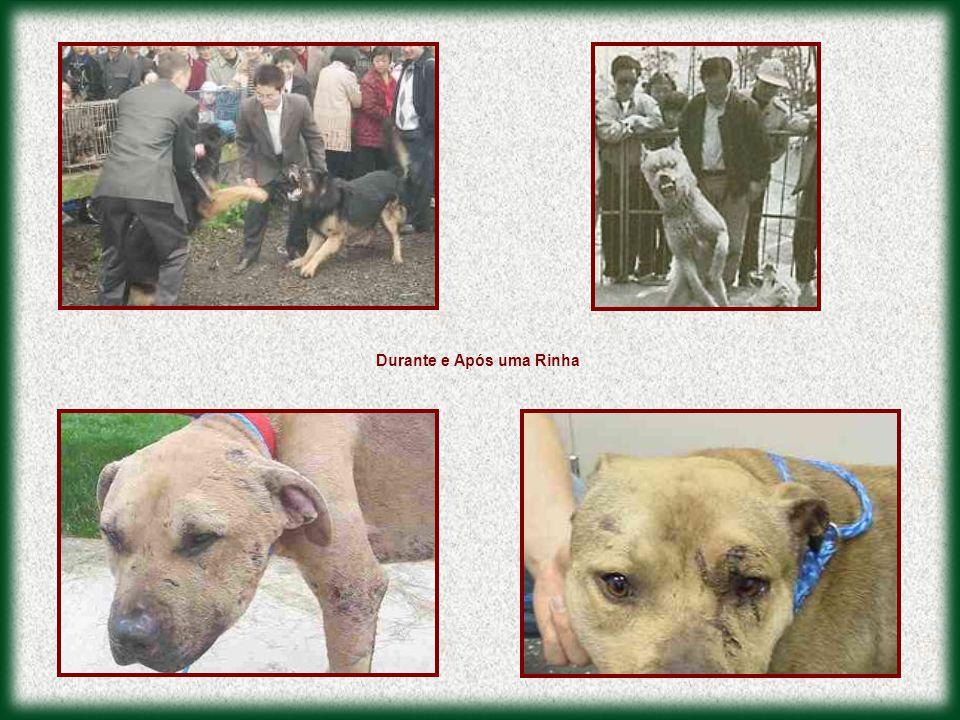  Os animais são obrigados a lutar até que um deles morra ou o dono desista em virtude de ferimentos agravados.