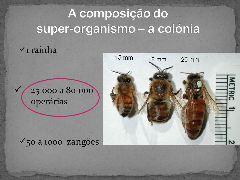 1 rainha 25 000 a 80 000 operárias 50 a 1000 zangões 15 mm 18 mm 20 mm