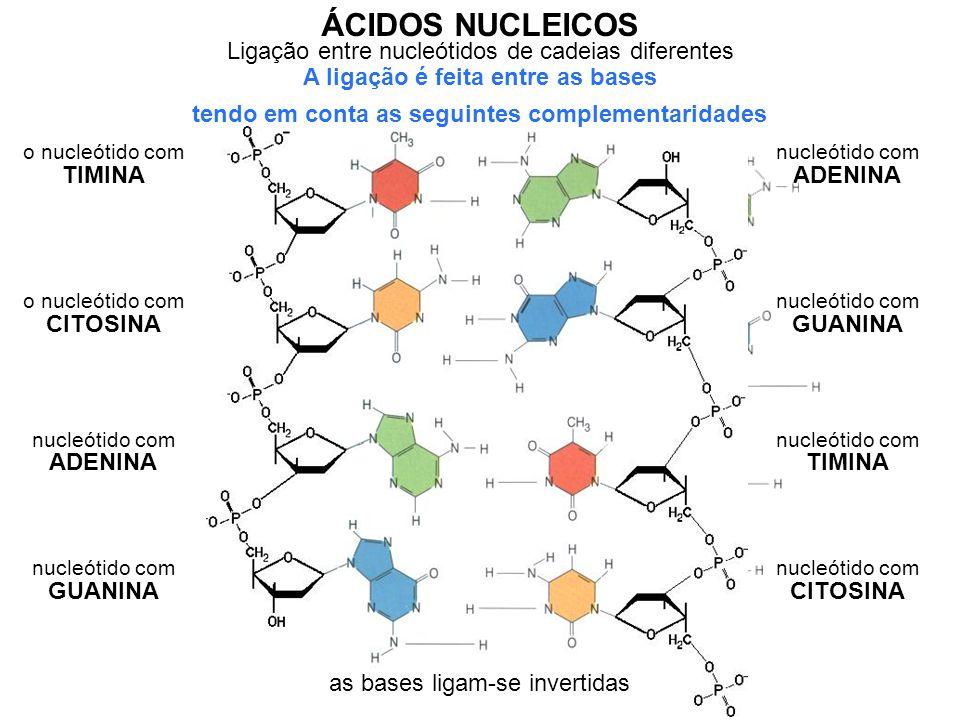 Ligação entre nucleótidos de cadeias diferentes ÁCIDOS NUCLEICOS A ligação é feita entre as bases o nucleótido com TIMINA nucleótido com ADENINA é complementar ao o nucleótido com CITOSINA é complementar ao nucleótido com GUANINA nucleótido com ADENINA nucleótido com TIMINA nucleótido com GUANINA nucleótido com CITOSINA é complementar ao as bases ligam-se invertidas tendo em conta as seguintes complementaridades