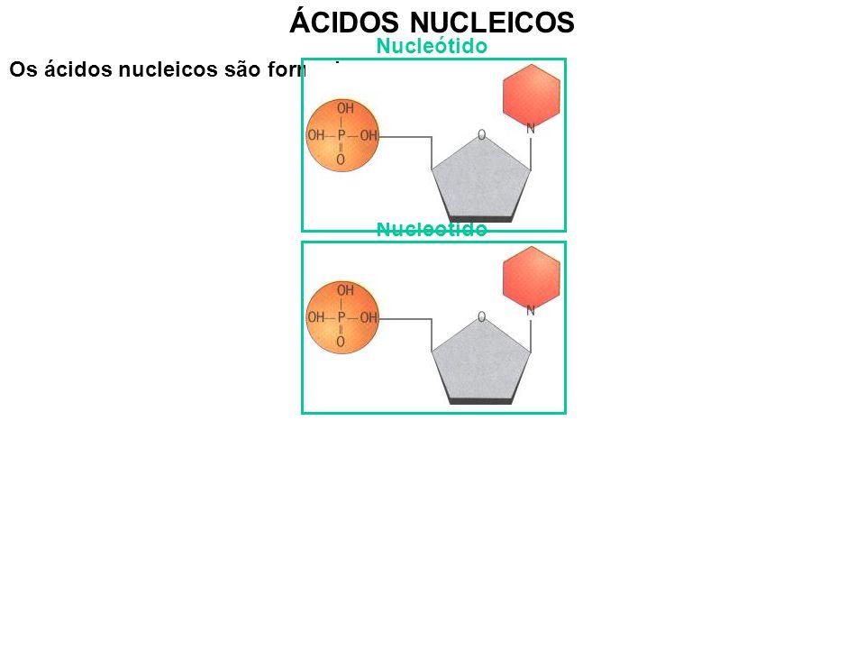 Os ácidos nucleicos são formados por: ÁCIDOS NUCLEICOS - Grupo fosfato - pentose - base azotada Nucleótido