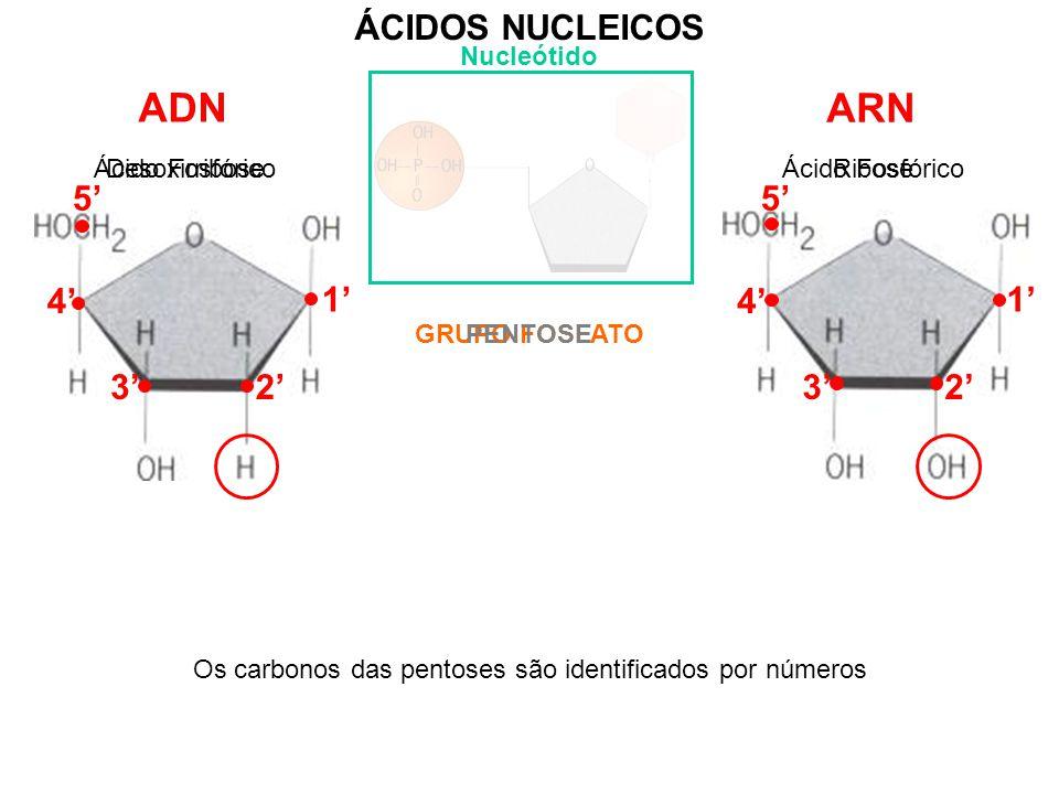 Ácido Fosfórico 3' ÁCIDOS NUCLEICOS Nucleótido ADN ARN GRUPO FOSFATO Ácido Fosfórico PENTOSE DesoxirriboseRibose Os carbonos das pentoses são identificados por números 4' 3' 1' 2' 5' 4'