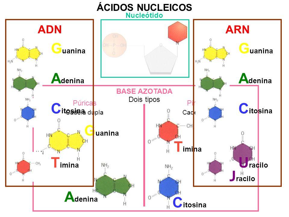 ÁCIDOS NUCLEICOS Nucleótido ADN ARN BASE AZOTADA Dois tipos PúricasPirimídicas Cadeia duplaCadeia simples A denina G uanina T imina C itosina U racilo G uanina A denina C itosina T imina U racilo