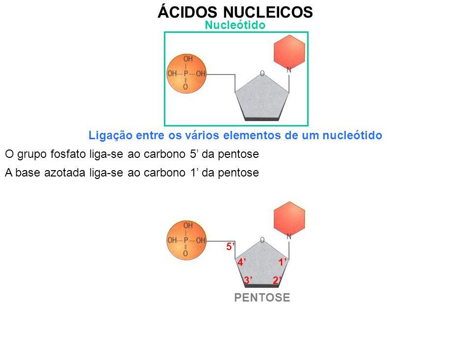 ao carbono 5' da pentose O grupo fosfato liga-se ÁCIDOS NUCLEICOS Nucleótido Ligação entre os vários elementos de um nucleótido PENTOSE 1' 2'3' 4' 5' ao carbono 1' da pentose A base azotada liga-se