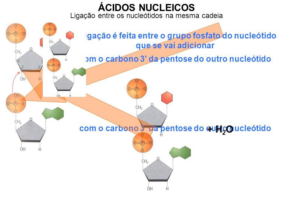ÁCIDOS NUCLEICOS com o carbono 3' da pentose do outro nucleótido A ligação é feita entre o grupo fosfato do nucleótido que se vai adicionar com o carbono 3' da pentose do outro nucleótido + H 2 O