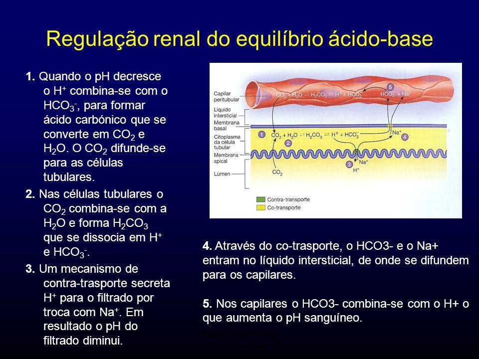 FMUC 2007/2008 Bioquímica I Regulação renal do equilíbrio ácido-base 1. Quando o pH decresce o H + combina-se com o HCO 3 -, para formar ácido carbóni