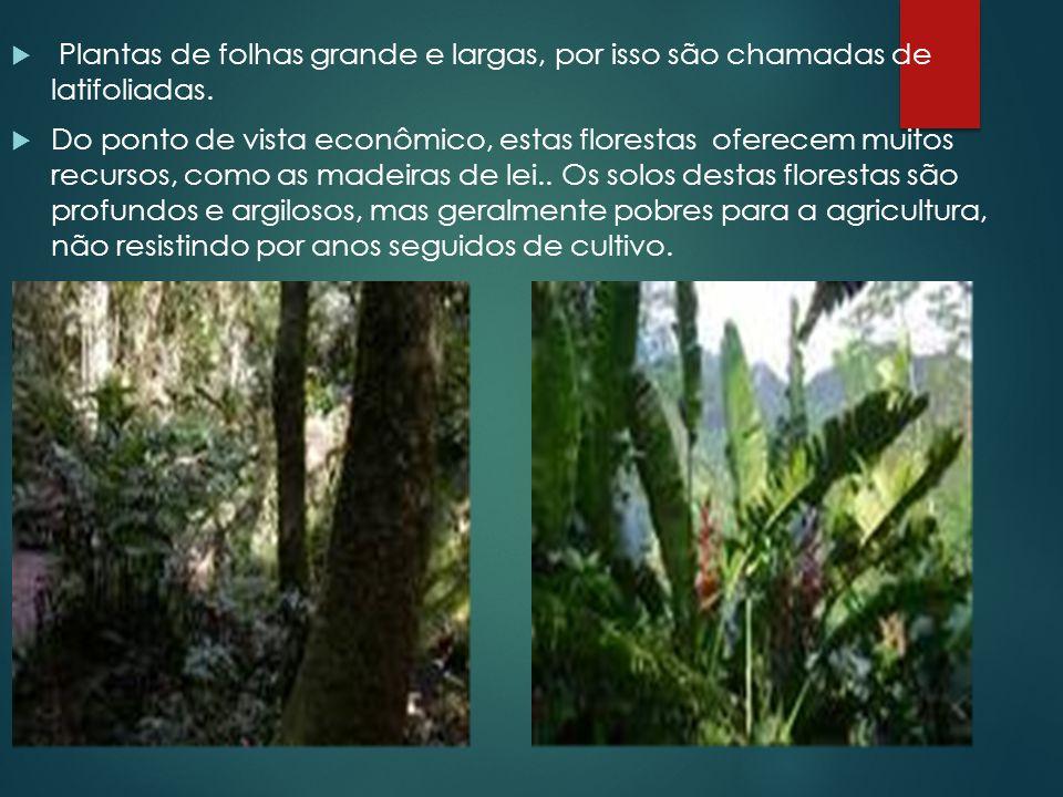  Plantas de folhas grande e largas, por isso são chamadas de latifoliadas.  Do ponto de vista econômico, estas florestas oferecem muitos recursos, c