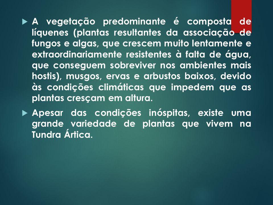  A vegetação predominante é composta de líquenes (plantas resultantes da associação de fungos e algas, que crescem muito lentamente e extraordinariam