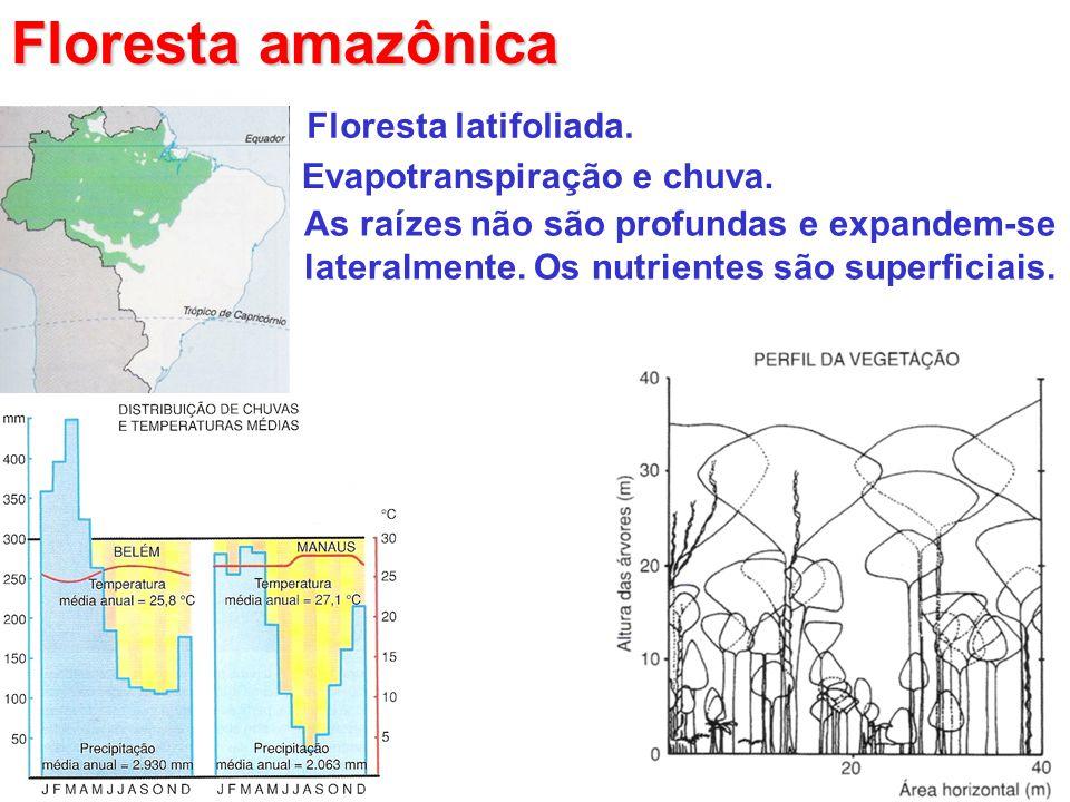Floresta amazônica Floresta latifoliada. Evapotranspiração e chuva. As raízes não são profundas e expandem-se lateralmente. Os nutrientes são superfic
