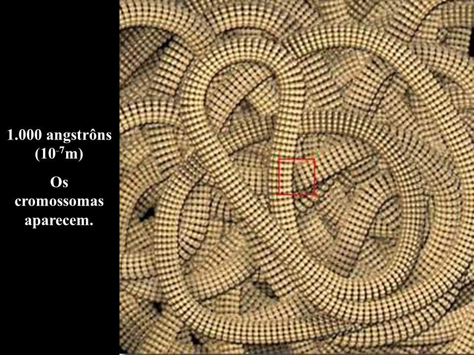 1.000 angstrôns (10 -7 m) Os cromossomas aparecem.