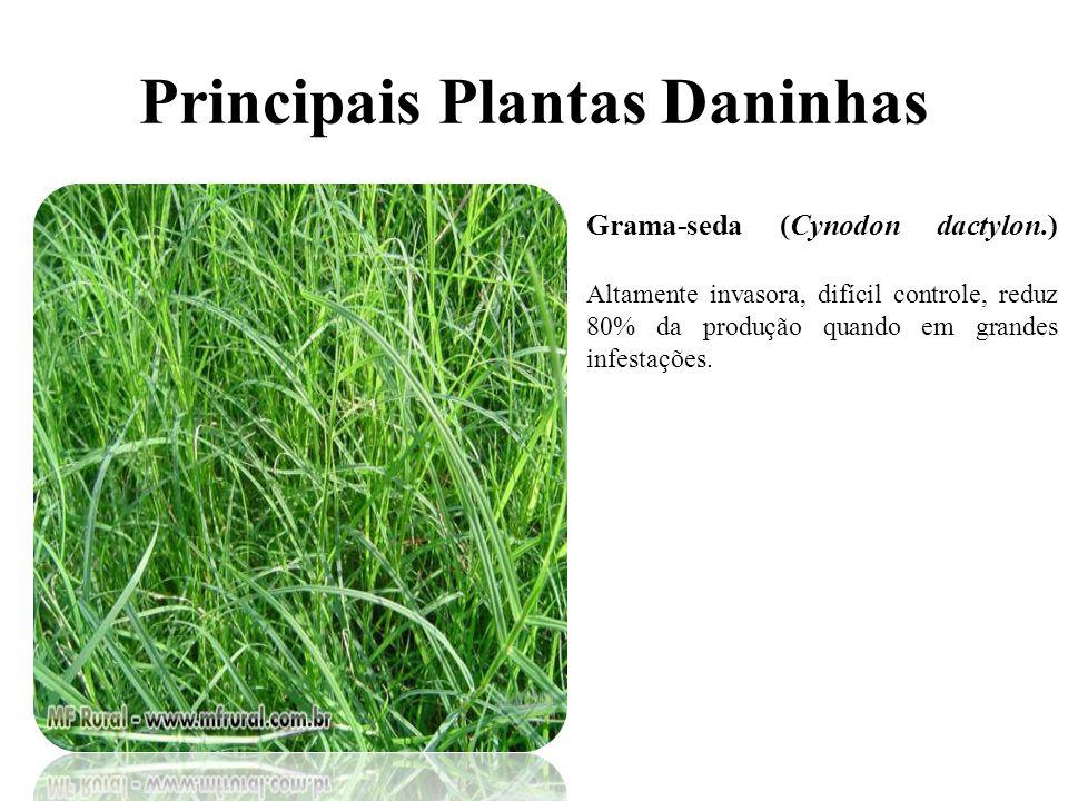 Principais Plantas Daninhas Grama-seda (Cynodon dactylon.) Altamente invasora, difícil controle, reduz 80% da produção quando em grandes infestações.