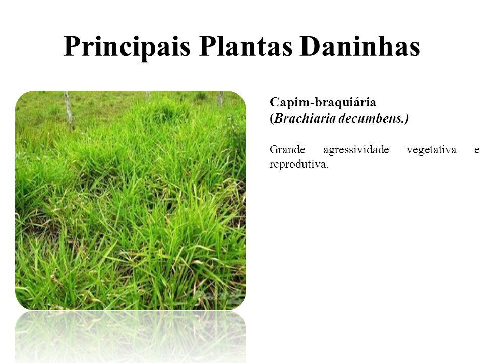 Principais Plantas Daninhas Capim-braquiária (Brachiaria decumbens.) Grande agressividade vegetativa e reprodutiva.