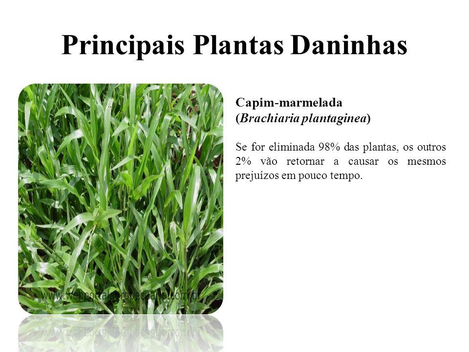 Principais Plantas Daninhas Capim-marmelada (Brachiaria plantaginea) Se for eliminada 98% das plantas, os outros 2% vão retornar a causar os mesmos prejuízos em pouco tempo.