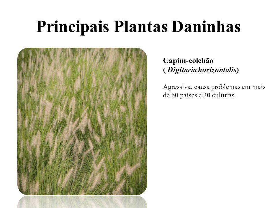 Principais Plantas Daninhas Capim-colchão ( Digitaria horizontalis) Agressiva, causa problemas em mais de 60 países e 30 culturas.